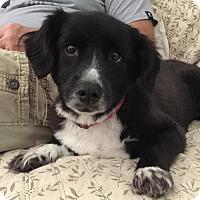 Adopt A Pet :: Addie - Fairmont, WV