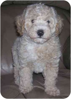 Toy Poodle Puppy for adoption in Evansville, Indiana - Thumper