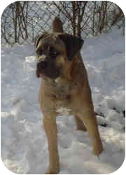 Cane Corso Puppy for adoption in New York, New York - Papa-NJ PENDING