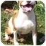 Photo 1 - American Bulldog Mix Dog for adoption in Metamora, Indiana - Francis