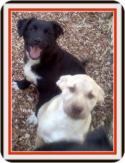 German Shepherd Dog/Retriever (Unknown Type) Mix Puppy for adoption in Rougemont, North Carolina - Buck