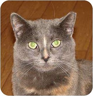 Domestic Shorthair/Domestic Shorthair Mix Cat for adoption in Woodstock, Illinois - Queen Bee