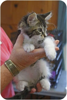 Domestic Longhair Kitten for adoption in Tillamook, Oregon - Timmy