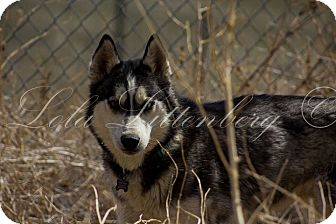 Siberian Husky Dog for adoption in Golden, Colorado - Maxx