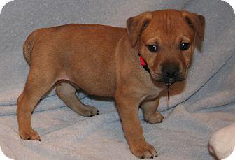 German Shepherd Dog/Labrador Retriever Mix Puppy for adoption in Scottsdale, Arizona - Harper