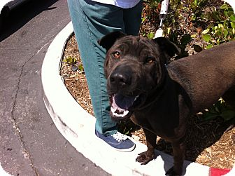 Shar Pei Mix Dog for adoption in Mira Loma, California - Star