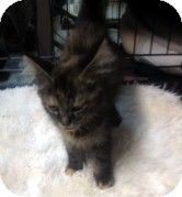 Domestic Mediumhair Kitten for adoption in Columbia, South Carolina - Kapie