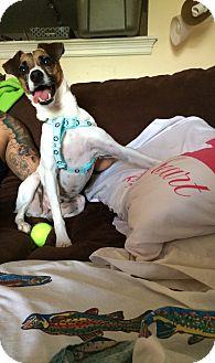 Jack Russell Terrier Mix Dog for adoption in ST LOUIS, Missouri - Eddie
