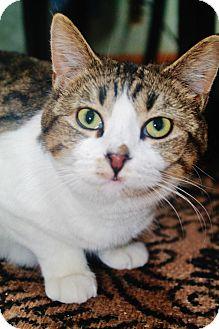 American Shorthair Cat for adoption in Manhattan, Kansas - Luna