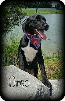 Labrador Retriever/Beagle Mix Dog for adoption in Walker, Louisiana - Oreo