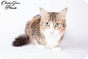 Domestic Mediumhair Cat for adoption in Edmonton, Alberta - Aunt Becky