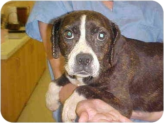 Boxer/Boston Terrier Mix Dog for adoption in Burnsville, North Carolina - Mandi
