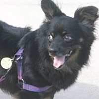 Dachshund/Pomeranian Mix Dog for adoption in haslet, Texas - Moo Moo