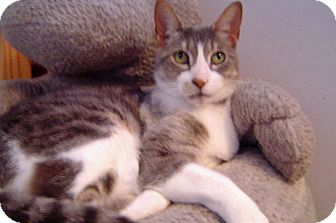 Domestic Shorthair Cat for adoption in Troy, Michigan - Pete