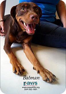 Doberman Pinscher Mix Dog for adoption in Belle Chasse, Louisiana - Batman