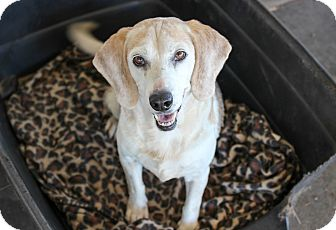 Beagle Dog for adoption in Myakka City, Florida - Fiji