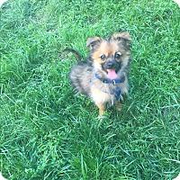 Adopt A Pet :: Miles - Chicago, IL