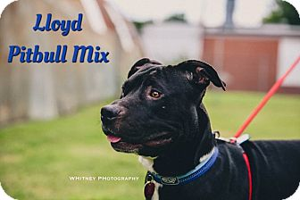 Pit Bull Terrier Mix Dog for adoption in Cheney, Kansas - Lloyd