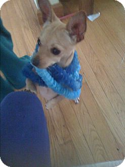 Chihuahua Mix Dog for adoption in West Bloomfield, Michigan - Buddy