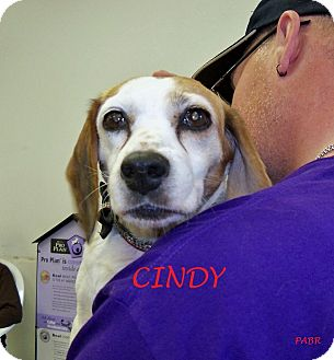 Beagle Dog for adoption in Ventnor City, New Jersey - CINDY