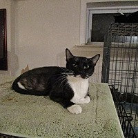 Domestic Shorthair Cat for adoption in St. Louis, Missouri - Chelsea
