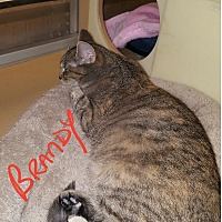Maine Coon Cat for adoption in Gainesville, Virginia - Brandy