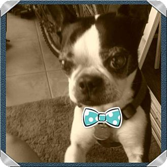 Boston Terrier Mix Dog for adoption in Cape Coral, Florida - Maddox