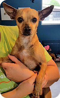 Chihuahua Mix Dog for adoption in San Antonio, Texas - Charlie