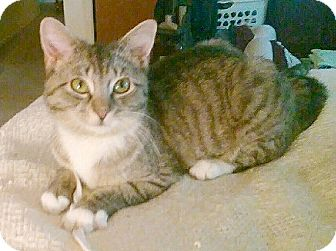 Domestic Shorthair Cat for adoption in Germansville, Pennsylvania - Mittens