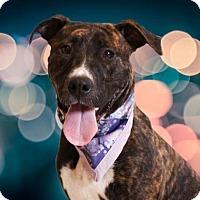 Adopt A Pet :: Cyndi Lauper - Chico, CA