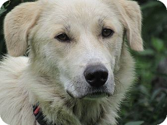 Great Pyrenees/Labrador Retriever Mix Dog for adoption in Kiowa, Oklahoma - Molly