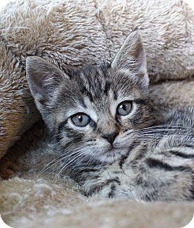 Domestic Shorthair Kitten for adoption in Wayne, New Jersey - Kimmel