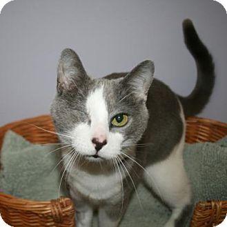 Domestic Shorthair Cat for adoption in Norfolk, Virginia - Dusty