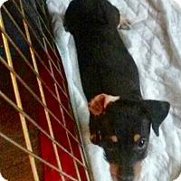 Adopt A Pet :: Chablis: adoption pending - Astoria, NY