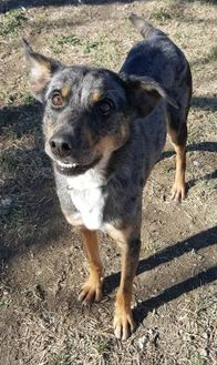 Catahoula Leopard Dog Mix Dog for adoption in Brownwood, Texas - Patch