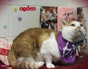 Domestic Shorthair/Domestic Shorthair Mix Cat for adoption in Anderson, Indiana - Ogden