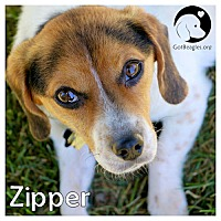 Adopt A Pet :: Zipper - Pittsburgh, PA
