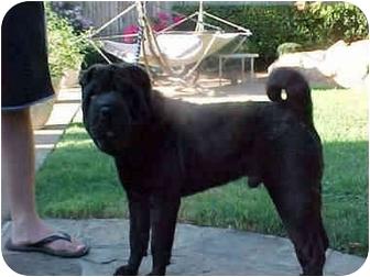Shar Pei Dog for adoption in Houston, Texas - Stormy