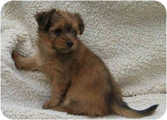 Poodle (Toy or Tea Cup)/Terrier (Unknown Type, Small) Mix Puppy for adoption in San Diego (all areas), California - Cedar