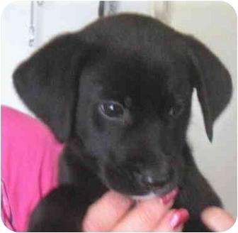 Labrador Retriever Mix Puppy for adoption in Kokomo, Indiana - Shelby