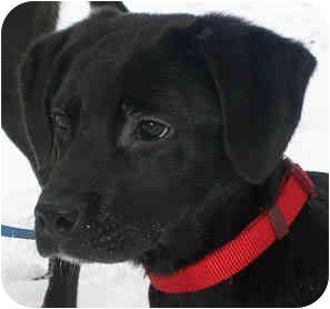 Labrador Retriever Mix Puppy for adoption in Jacksonville, Florida - Buck