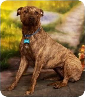 Boxer Mix Dog for adoption in Berea, Ohio - Tori-Courtesy Post
