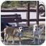 Photo 3 - Beagle/Labrador Retriever Mix Dog for adoption in kennebunkport, Maine - BUDDY in Maine!