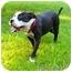 Photo 2 - American Bulldog/Staffordshire Bull Terrier Mix Dog for adoption in Mocksville, North Carolina - Coco