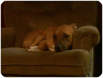 American Pit Bull Terrier Dog for adoption in Cincinnati, Ohio - Bacchus - courtesy post