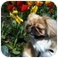 Photo 3 - Pekingese Dog for adoption in Virginia Beach, Virginia - Hannah