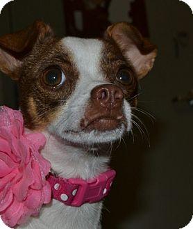 Jack Russell Terrier/Rat Terrier Mix Dog for adoption in Flower Mound, Texas - Paris