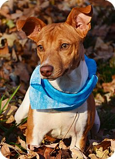 Fox Terrier (Wirehaired)/Chihuahua Mix Puppy for adoption in Staunton, Virginia - Harley