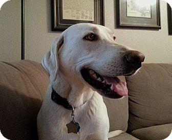 Labrador Retriever Dog for adoption in Coppell, Texas - Bianca
