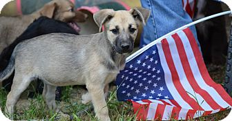Border Collie/English Shepherd Mix Puppy for adoption in Stafford Springs, Connecticut - Barb